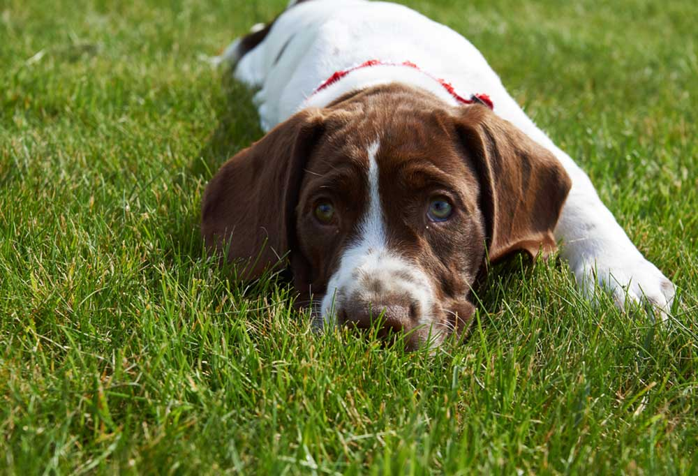 Old Danish Pointing Dog laying in grass