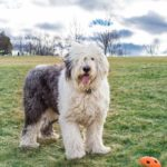Old English Sheepdog standing on grassy hill with orange ball.