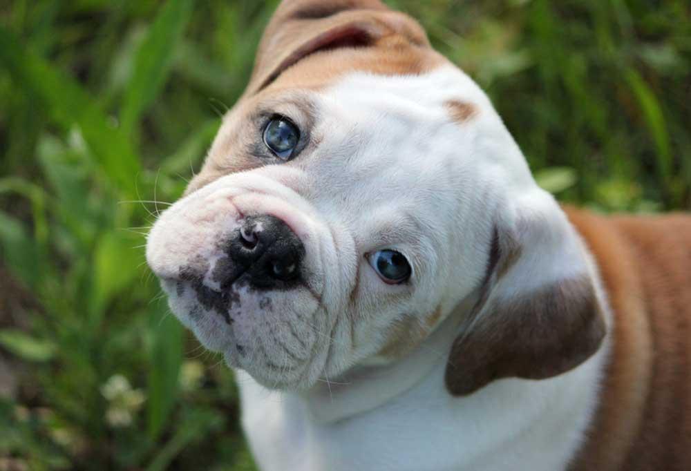Olde English Bulldogge pup stairing up at the camera