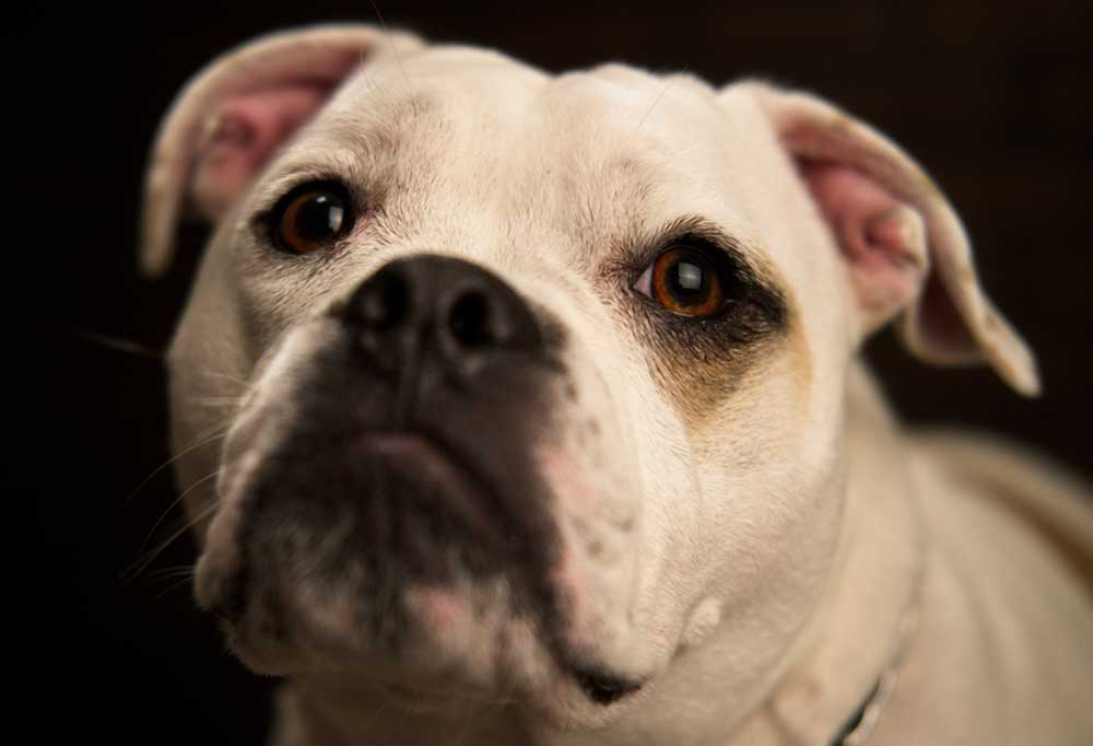 Olde Victorian Bulldogge on black background staring at camera
