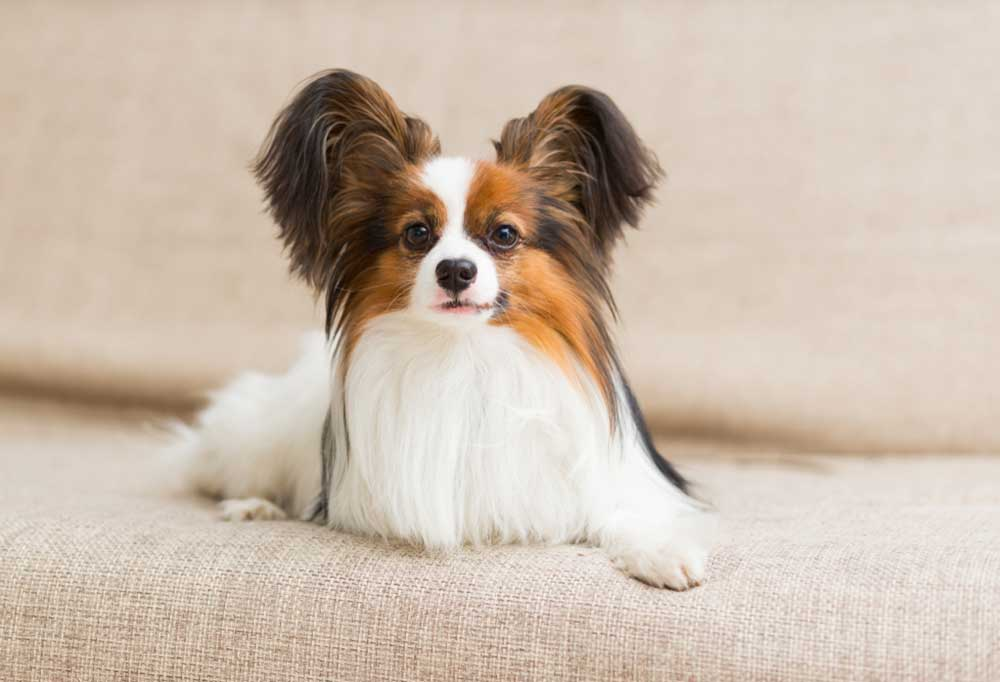 Papillon resting on couch