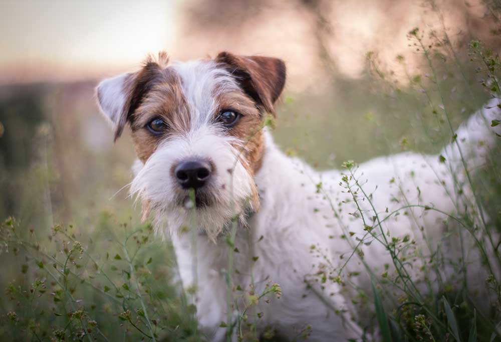 Parson Russell Terrier standing on tall grass and weeds