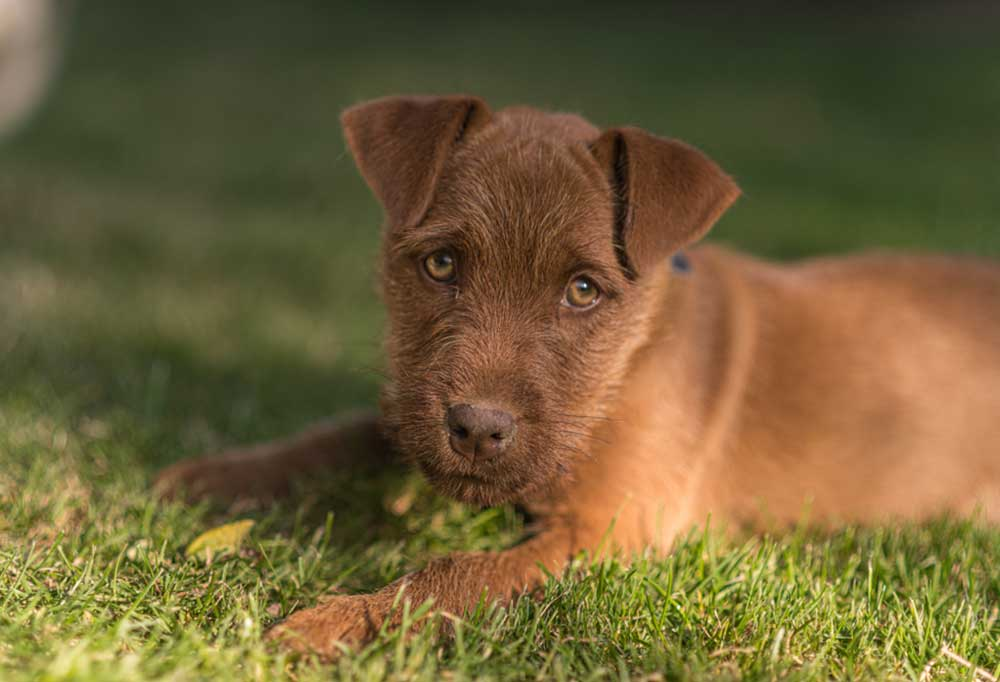 Patterdale Terrier puppy laying in grass