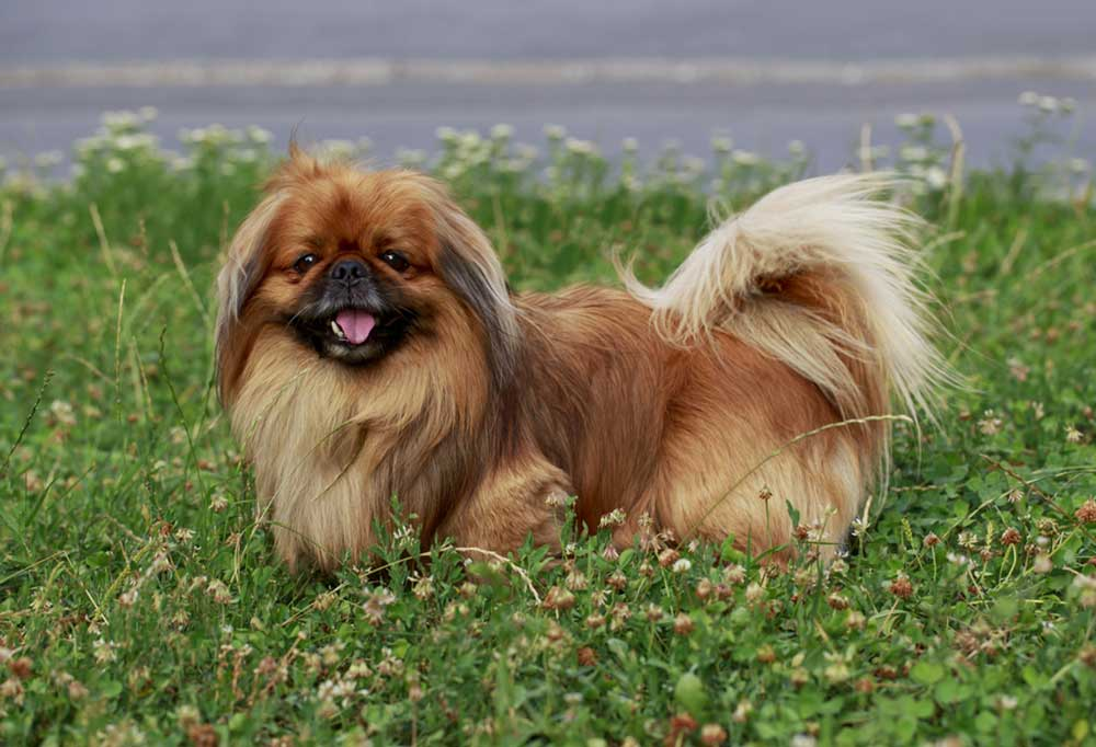 Pekingese standing in grass with road in background