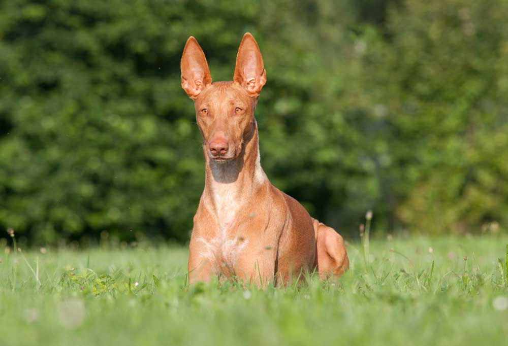 Pharaoh Hound laying down in grass
