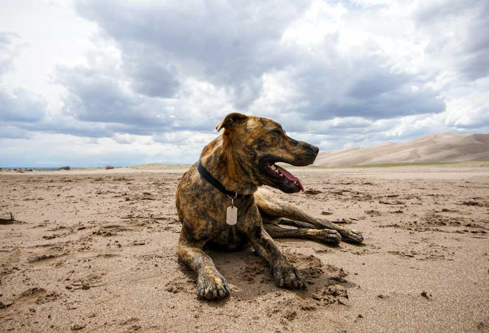 Plott Hound laying on beach