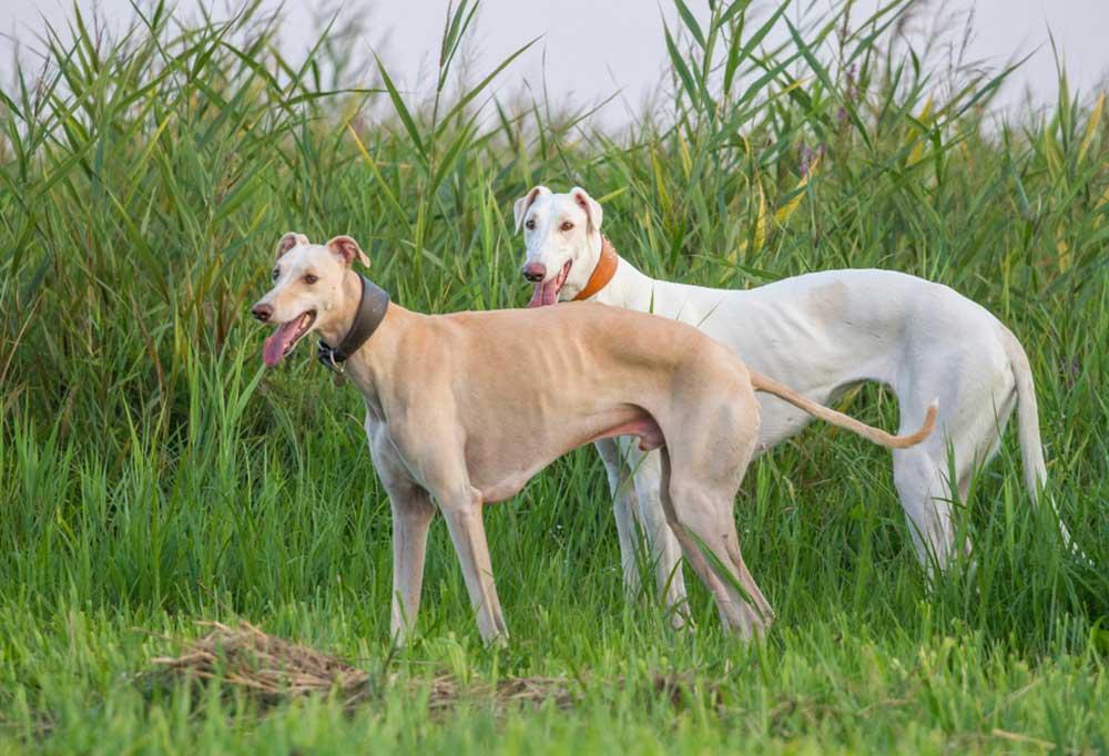 2 Polish Greyhound standing among tall grass and plants