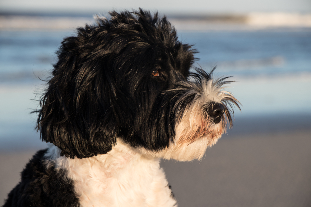 Portuguese Water Dog on a beach