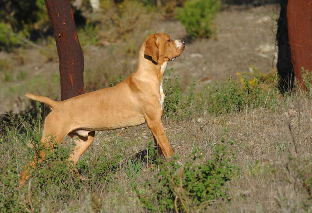 Portuguese Pointer in point on grassy hill
