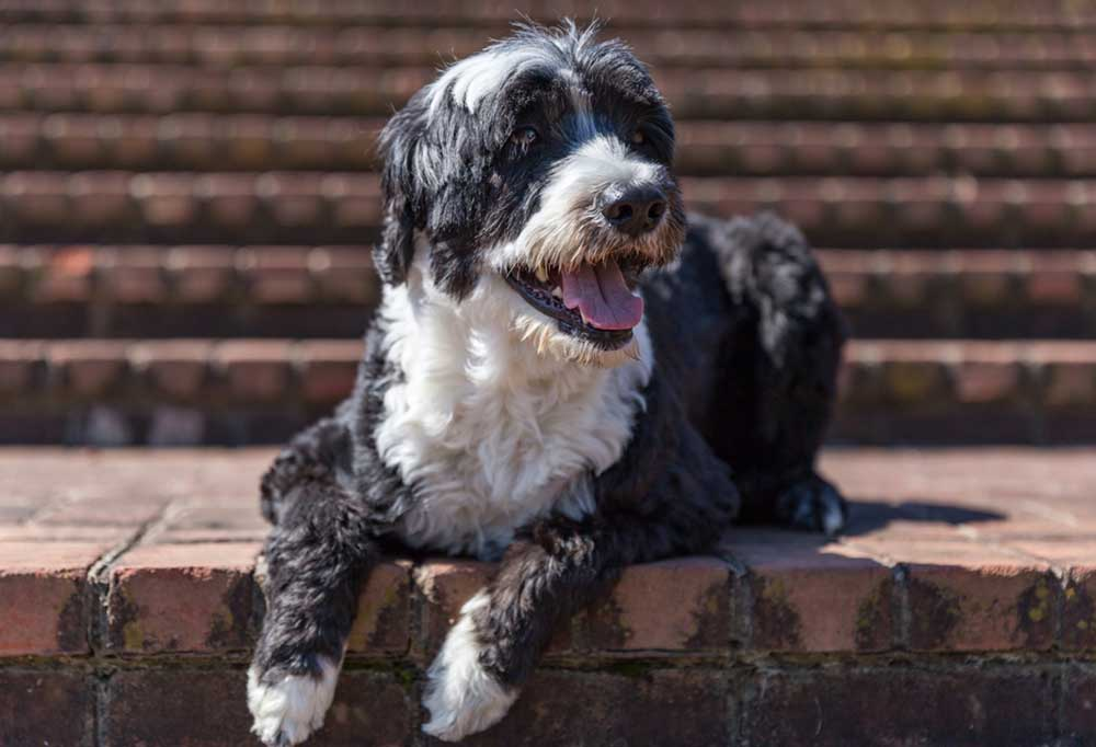 Portuguese Water Dog laying on brick stairs
