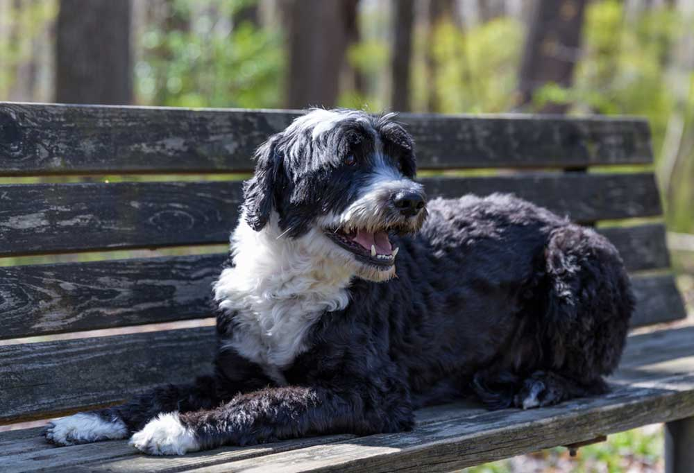 Portuguese Water Dog laying on park bench