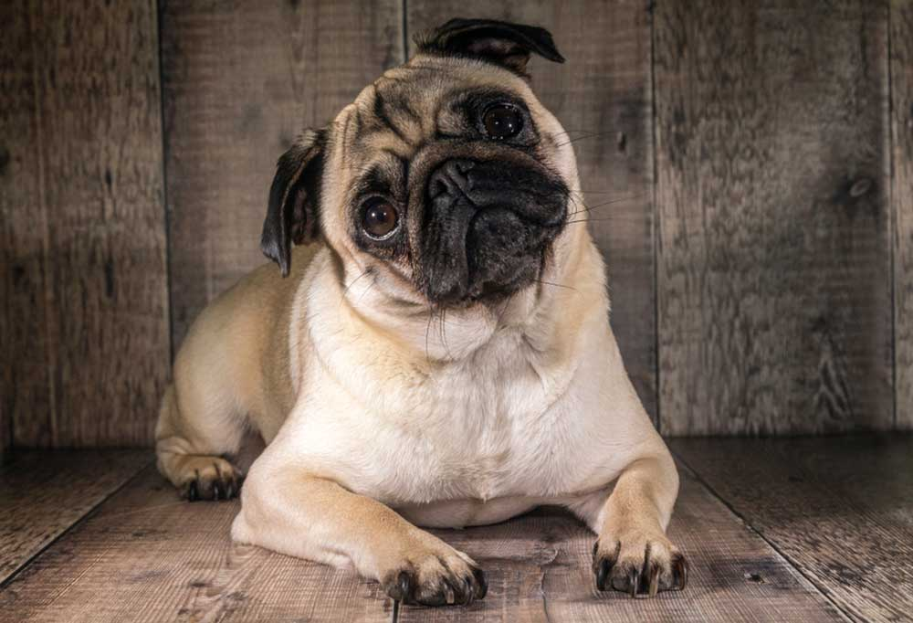 Pug on wood deck with wooden wall behind it