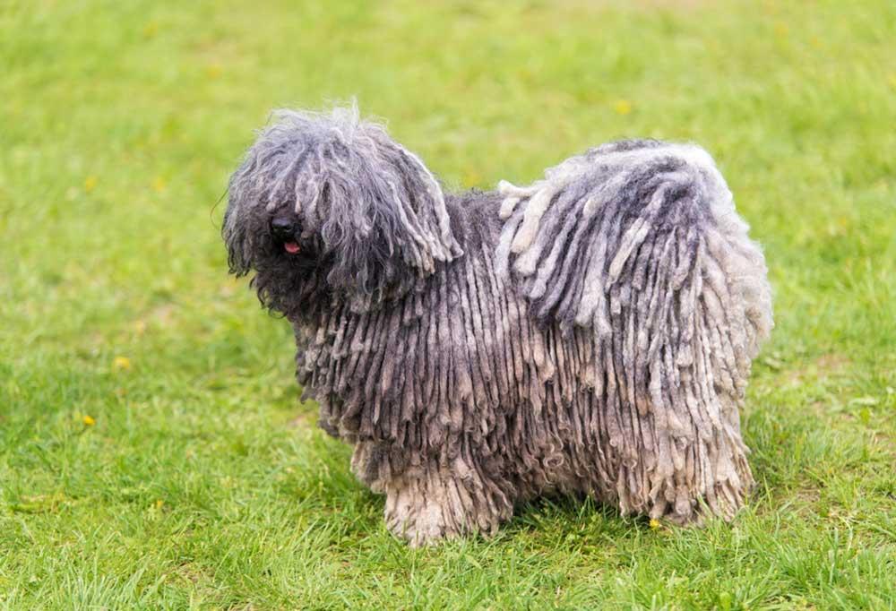 Puli standing in grass