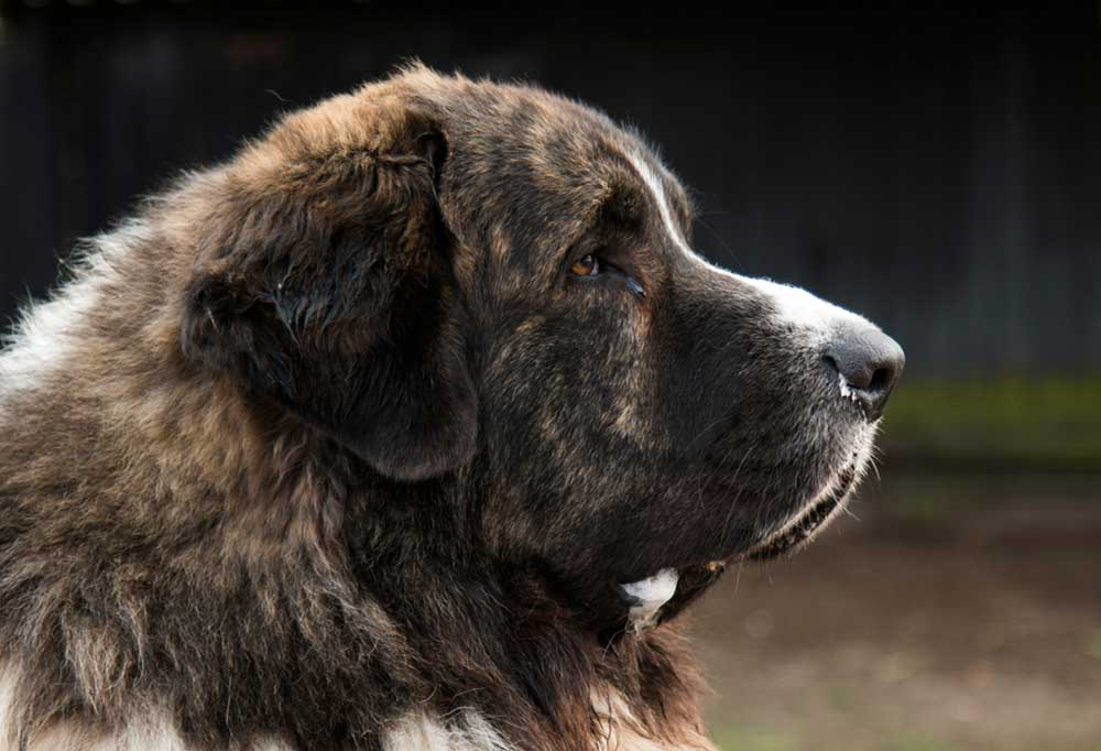 Close up portrait of a Pyrenean Mastiff's head outdoors