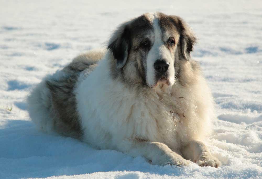 Pyrenean Mastiff laying in snow