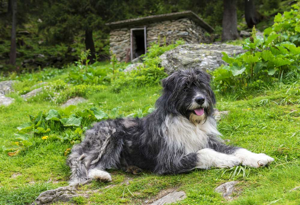 Romanian Mioritic Shepherd Dog laying on a green grass, rock and vegetation covered hill.