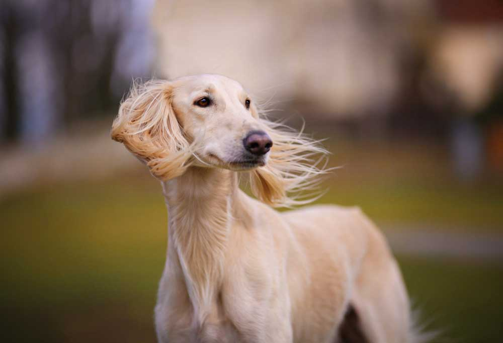 portrait of a Saluki with ears blowing in wind
