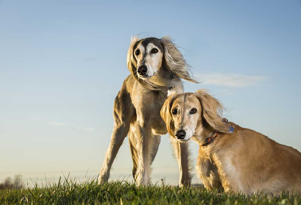 Pair of Saluki on a grass hill