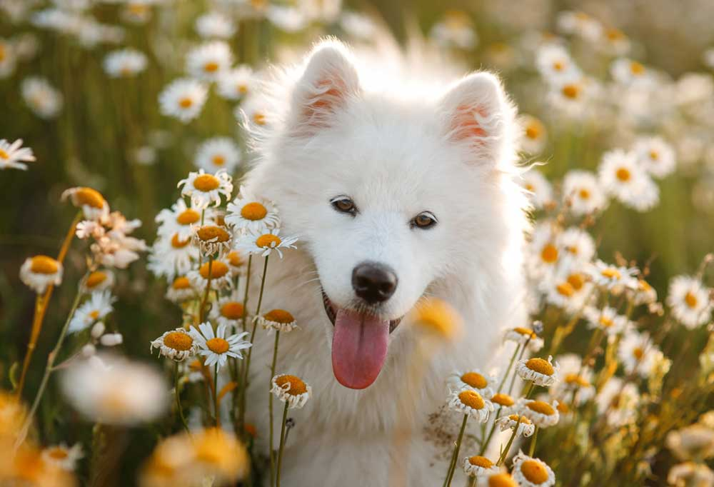 Samoyed sitting in a patch of daisies