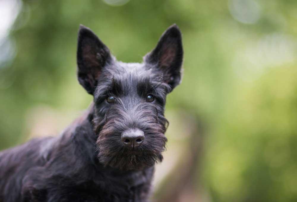 Scottish Terrier outdoors
