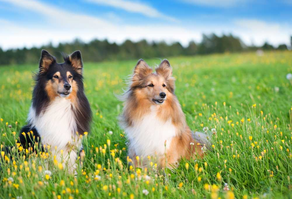 Pair of Shetland Sheepdog sitting in tall grass and wild flowers