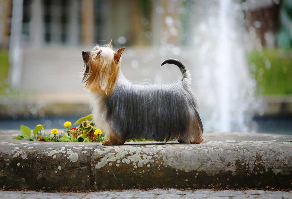 Silky Terrier in a garden in front of a fountain