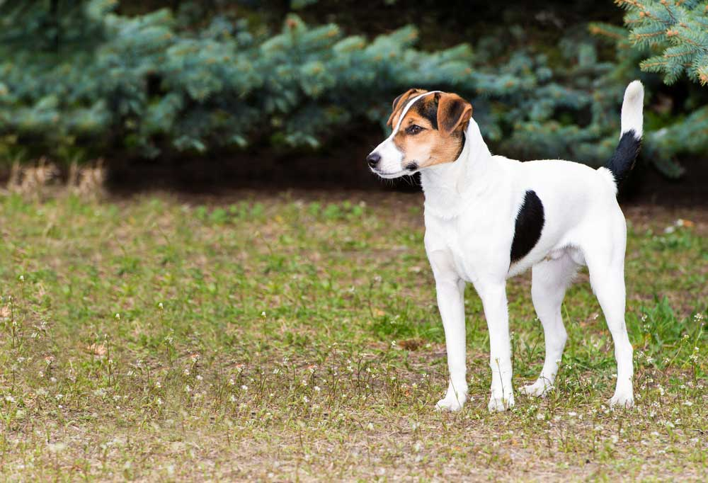 Smooth Fox Terrier outdoors standing in yard