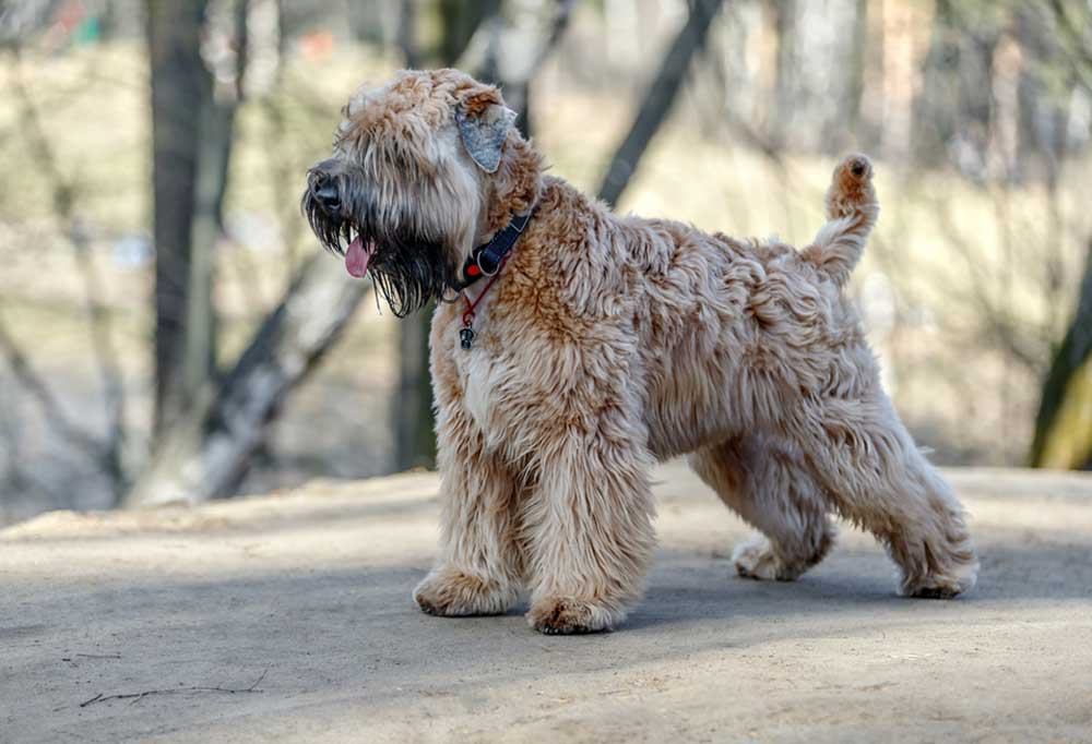 Soft-Coated Wheaten Terrier outdoors on sandy ground