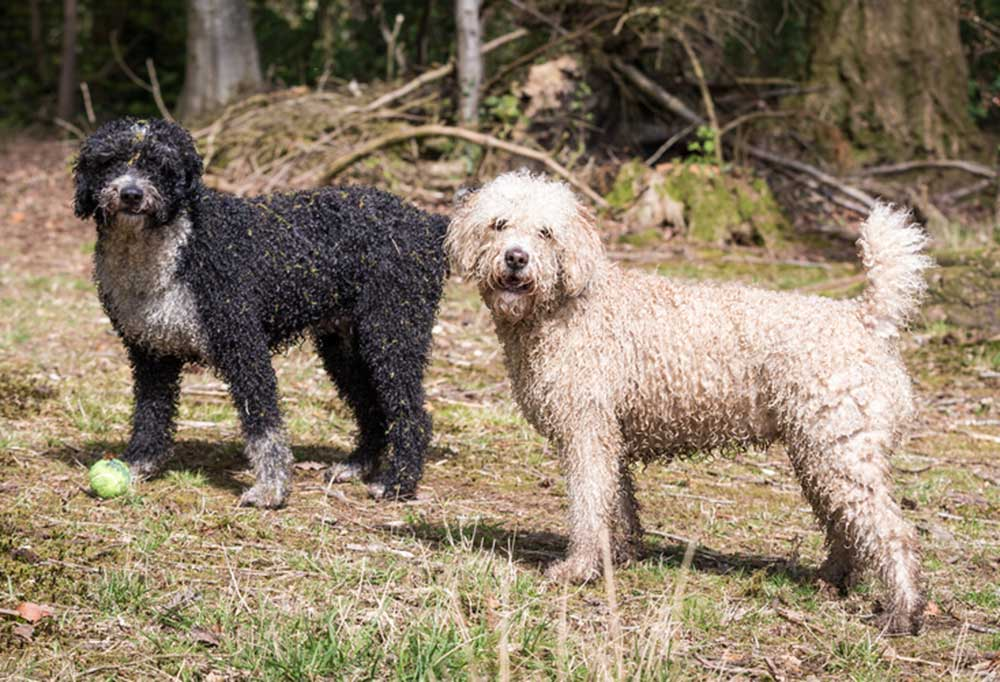 2 Spanish Water Dogs playing ball at the edge of a forrest