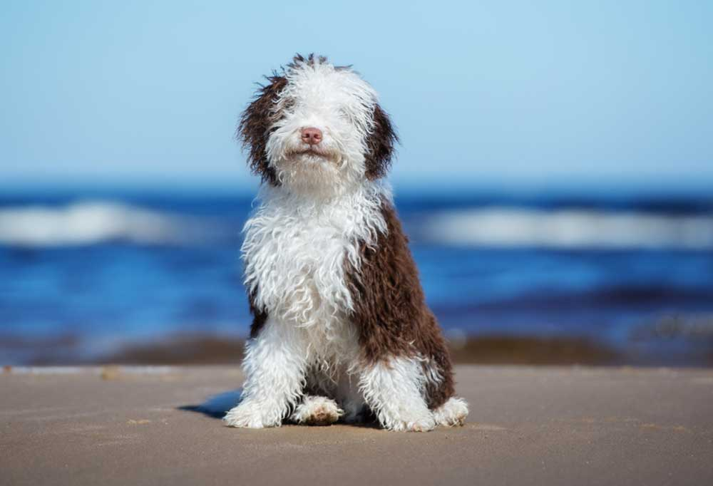 Spanish Water Dog on the beach