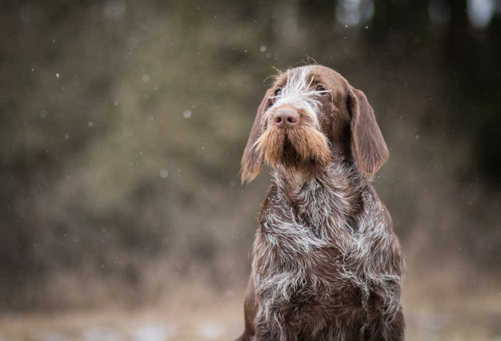 Spinone Italiano sitting outdoors in snow
