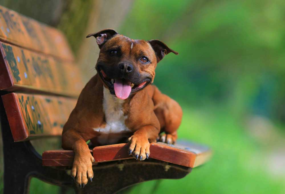 Staffordshire Bull Terrier laying on park bench