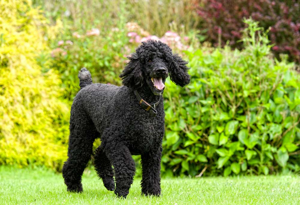 Standard Poodle standing in grass yard