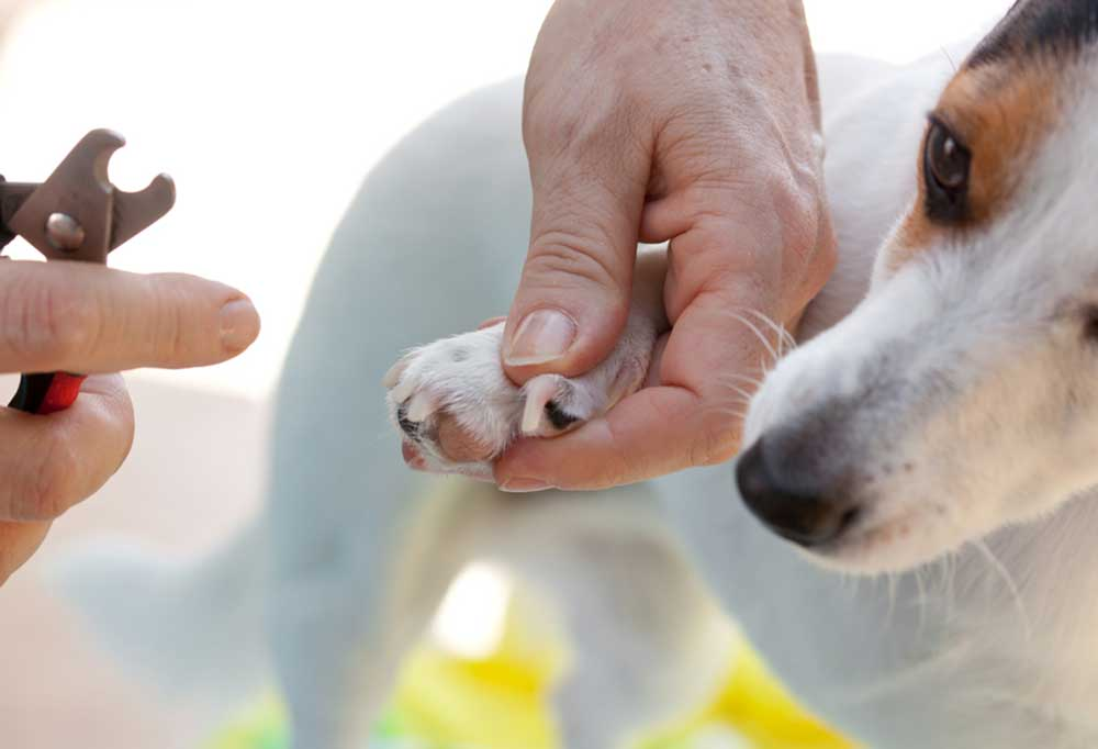 person trimming jack russell nails with scissor type nail clippers.