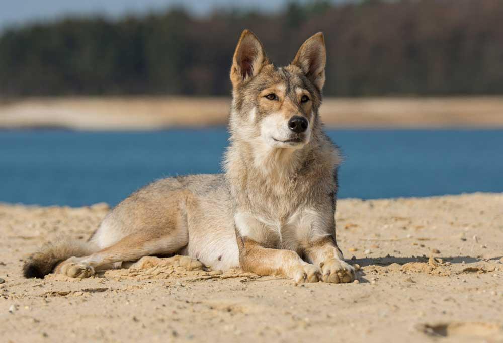 Tamaskan Dog laying on the beach
