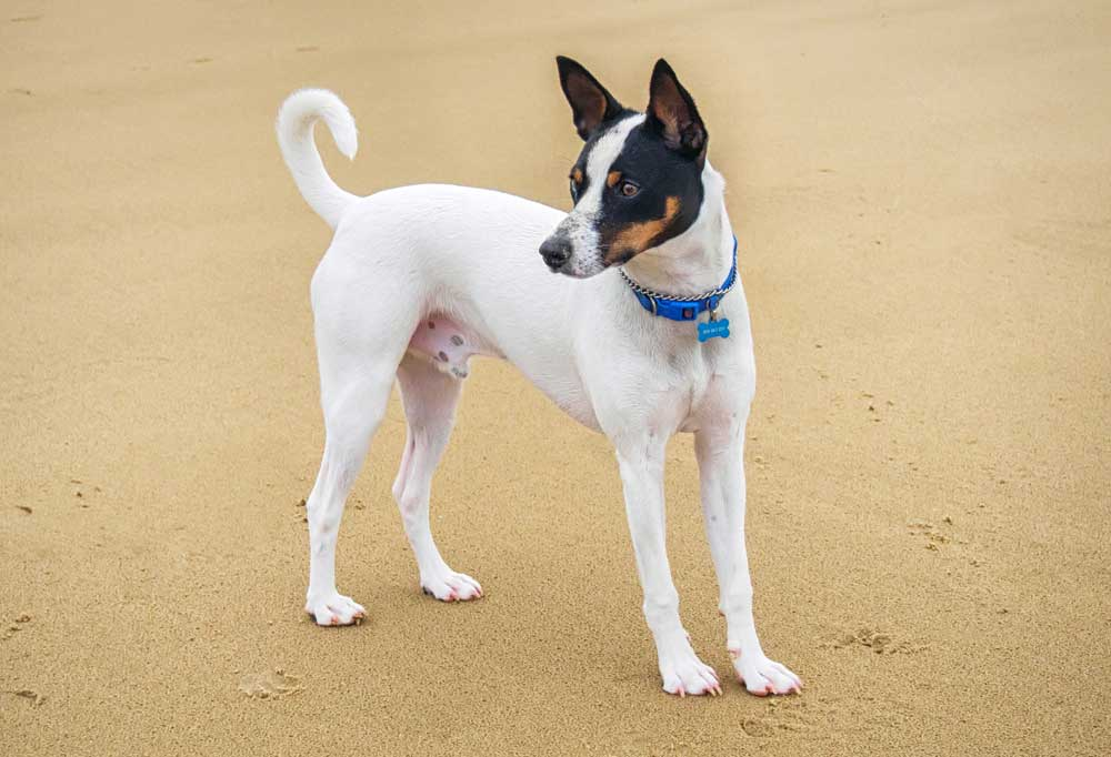 Tenterfield Terrier standing on tightly packed sand