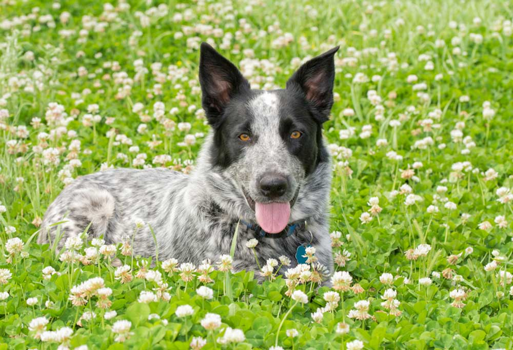 Texas Heeler laying in a bed of clover