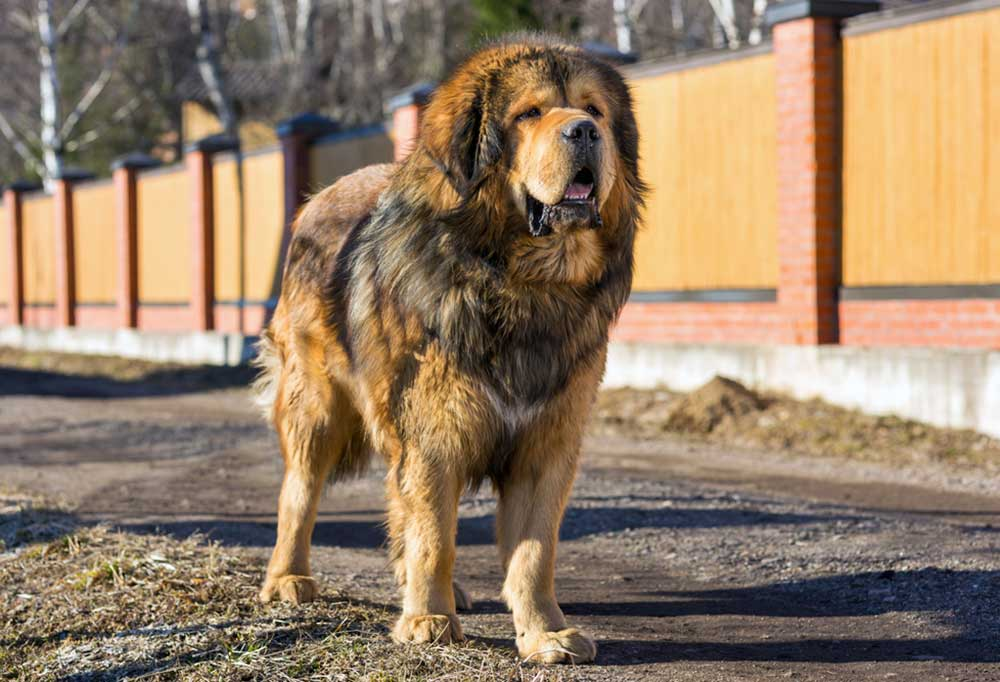 Tibetan Mastiff standing on a dirt road next to a large fence