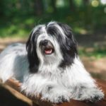 Tibetan Terrier laying on wooden bench outdoors