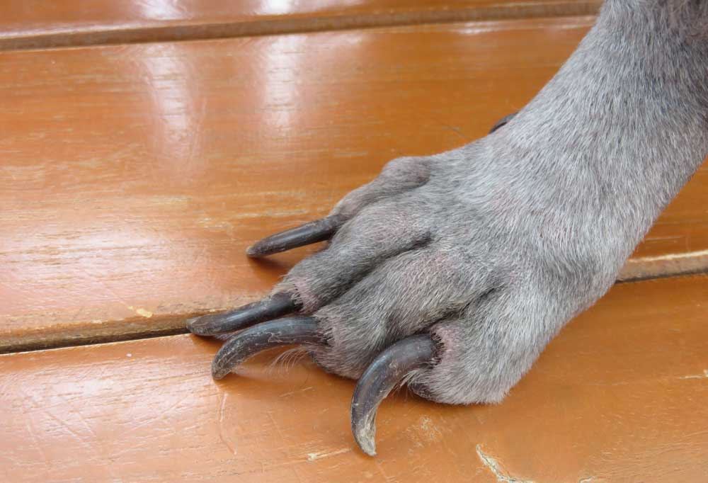 Gray dog paw on a hard wood floor with overgrown nails