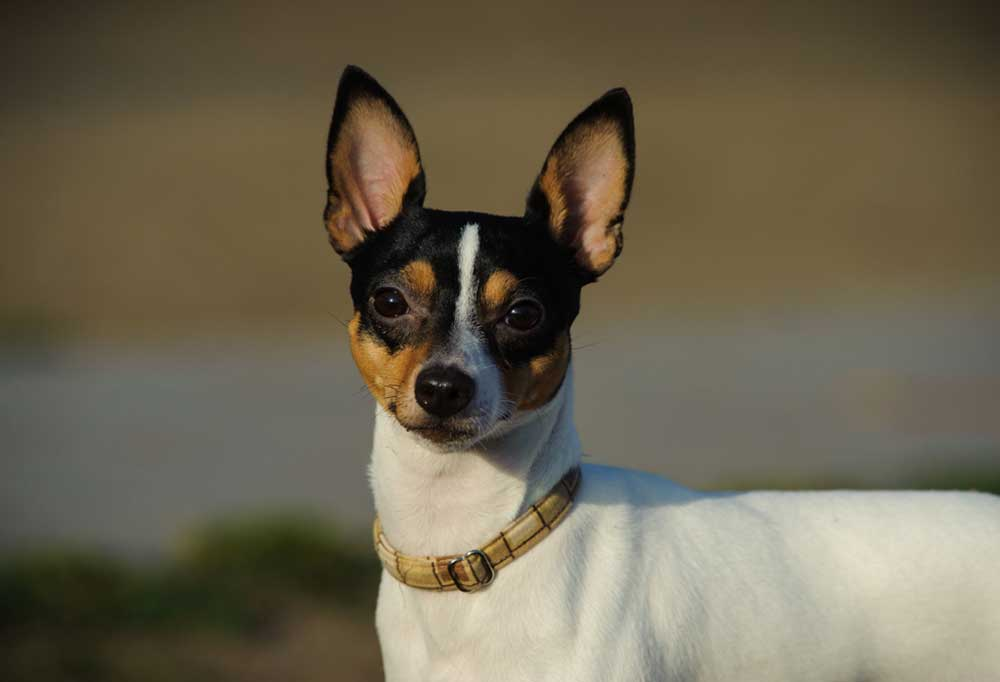 Close up portrait of Toy Fox Terrier outdoors