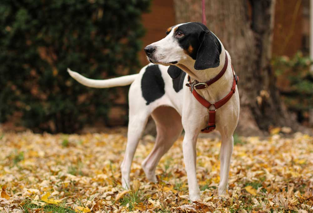 Treeing Walker Coonhound on leaf covered ground with shrubs and trees in background
