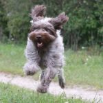 Wire Haired Pointing Griffon running across a dirt path