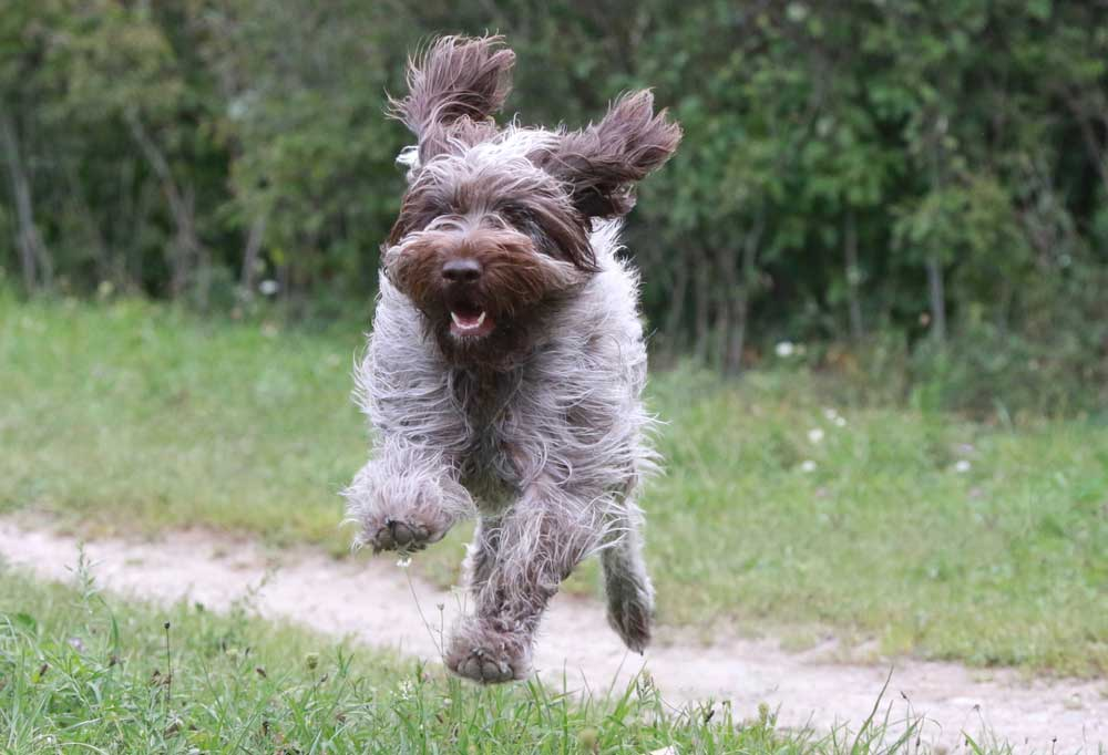 Wirehaired Pointing Griffon running and jumping in grass