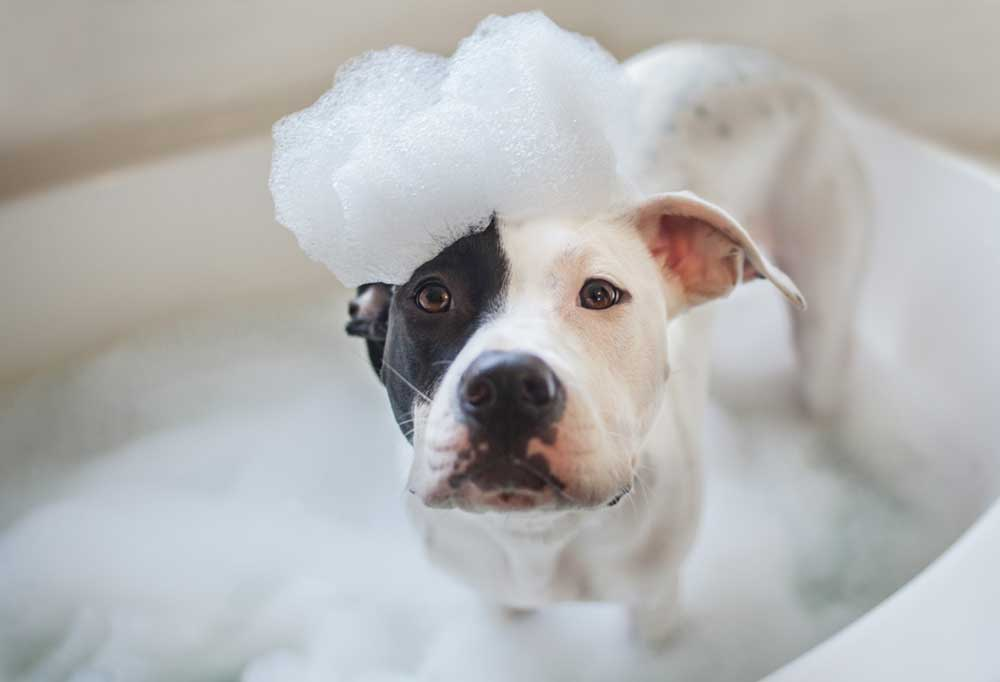 black and white dog in bath with suds on head