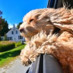 Cockapoo with head out of window