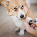 Corgi getting nails trimmed with scissor style nail clippers