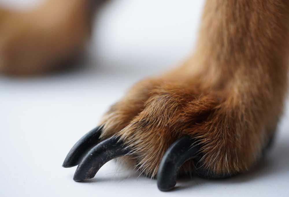 long black dog nails on a reddish paw