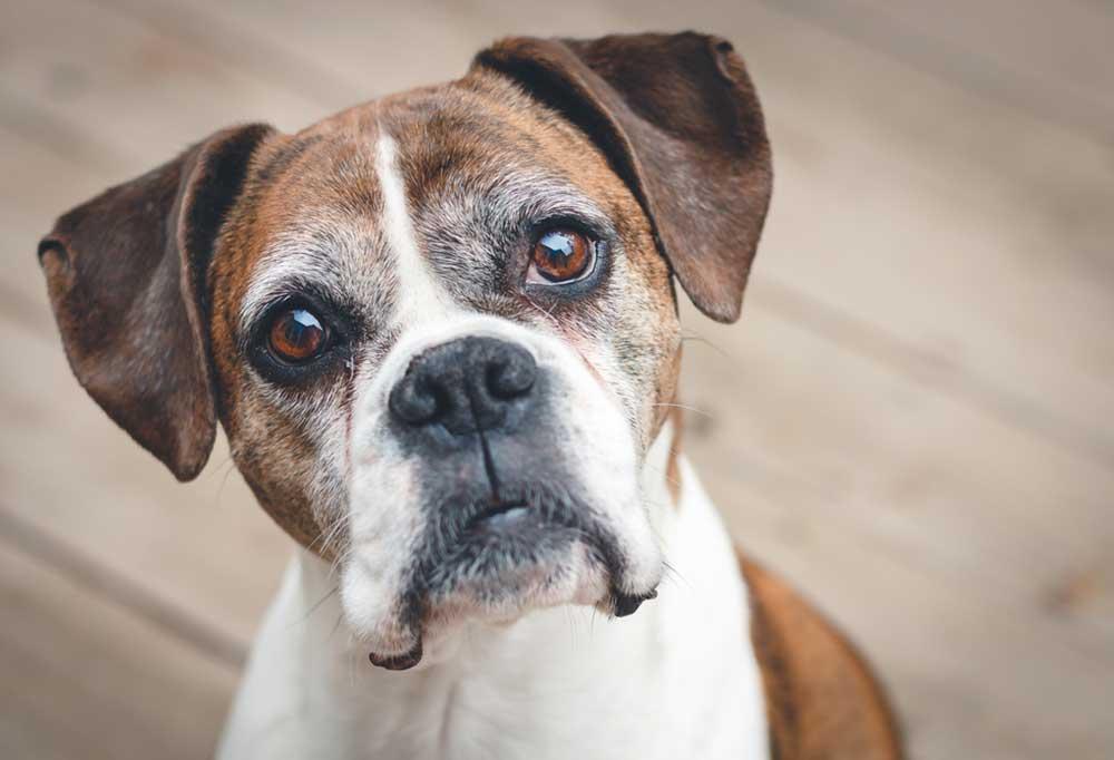Senior boxer dog close up