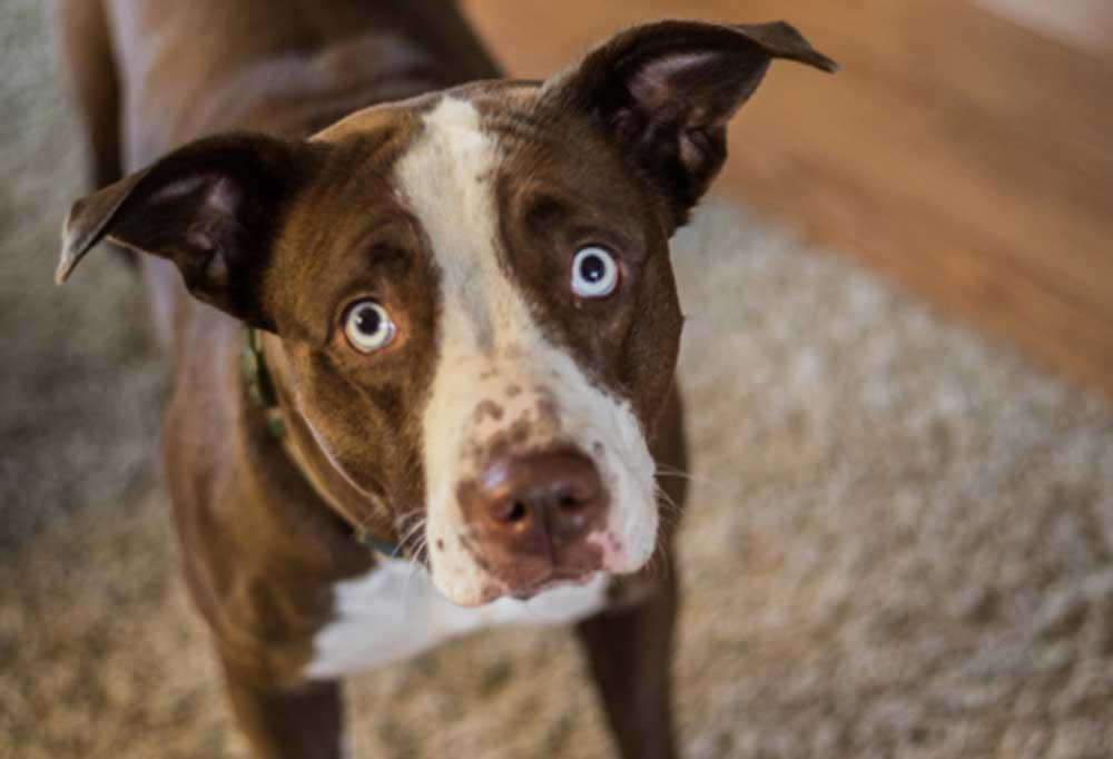 Sad dog with bright blue eyes